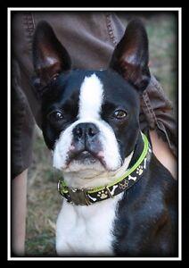 CKC registered Boston Terriers