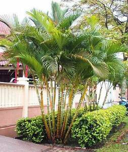 Palm Tree - Golden Cane Casula Liverpool Area Preview
