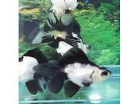 POND Fish, Tropical Fish, Fancy Goldfish for sale | 1000's to choose from! | Top quality, live fish