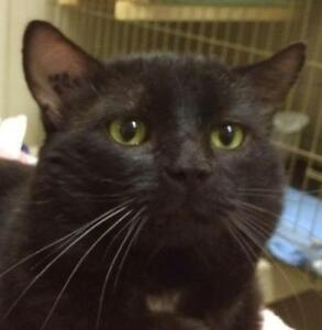"Adult Male Cat - Domestic Short Hair-black: ""Flopsy"""
