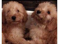 Miniature Poodles.