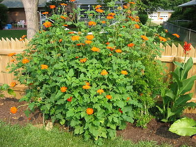 100+MEXICAN SUNFLOWER Seeds Hummingbirds Butterflies Bee's Blooms to Late Fall