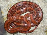 Corn Snake aged 1 year, under 3 feet long.