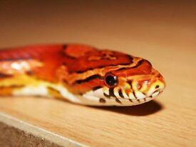 Male Carolina Corn Snake