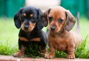 Looking for a Mini Daschund