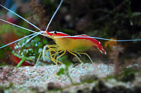 Cleaner Shrimp / Crevette nettoyeuse (Small)