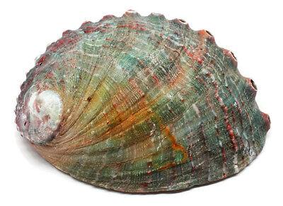 LARGE Paua Green Abalone Seashell Smudging Sea Shell 4