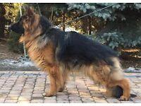 Long hair german shepherd pedigree