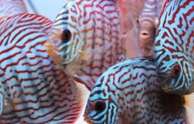 ROYAL BLUE TURQUOISE Discus tropical peaceful community fish from £24.99