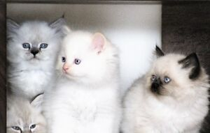 Persian Himalayan kittens are available for adoption