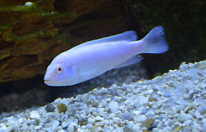 snow white cichlid for sale