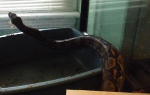 hobbiest downsizing part 1 boas and pythons