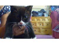 Cute adorable well behaved black/ white kitten