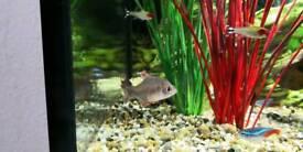 6 x Young Columbian Tetra fish