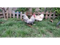 Holland Rooster 8 months old