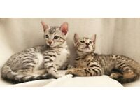Stunning PURE, FULL SPOTTED SILVER/GOLDEN BENGAL Kittens - £700 each ONLY 2 AVAILABLE NOW!!