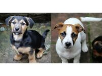 Two Minature Jack Russell Terriers Boy Black Tan, Girl White Tan