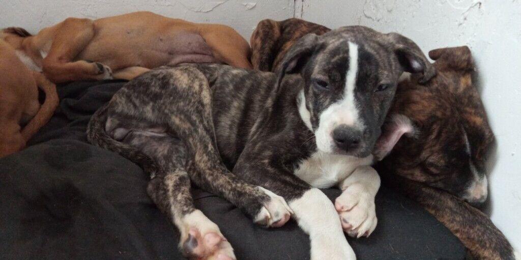 American bulldog cross mastiffs | in Warsop ...