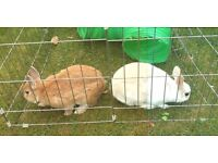Free to a good home. Pair of gorgeously cute 1 year old Netherland Dwarfs