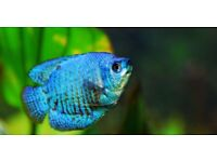 Large Neon Dwarf Blue Gourami - 3 Inches