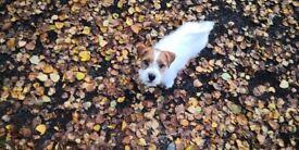 Beautiful Jack Russell Terrier girl