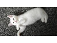 ABSOLUTELY BEAUTIFUL WHITE KITTEN FEMALE. VET CHECKED FULLY LITTER TRAINED.