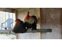 Cochin Rooster and Hen 1 year old