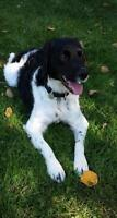 "Adult Male Dog - English Springer Spaniel: ""Archie"""