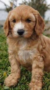 Wanted spoodle puppy Grafton Clarence Valley Preview