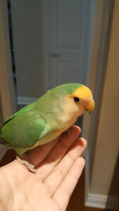 Healthy Lovebird and budgie for sale!