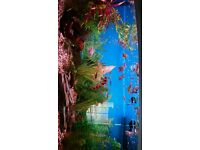 350 litres bow fronted fish tank with fish and accessories