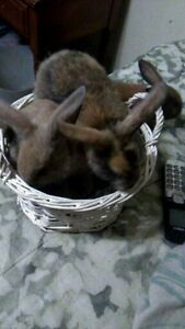3 BABY LOP BUNNYS  LEFT TO SELL  $  10.00 EACH