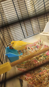 2 CANARIES FOR SALE RED FACTOR AND YELLOW