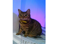 LOST FEMALE TABBY CAT HENDON AREA
