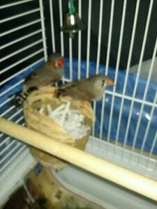 TEAR DROP FINCHES FOR SALE