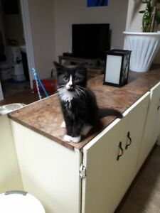"Baby Male Cat - Domestic Long Hair (Black & White): ""Dax"""