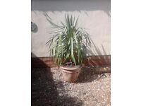 Large hardy Yucca