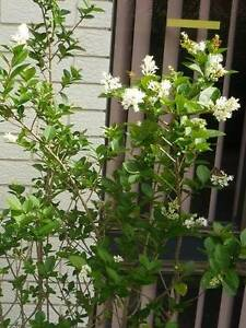 "Fragrant Shrub – ""Privet – Golden Vicary"" ($15-$30) Alexander Heights Wanneroo Area Preview"