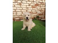 Kc registered Golden Retriever Puppies