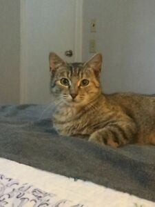 "Adult Female Cat - Tabby (Brown): ""Tabitha"""