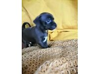 Jack russell cross puppy