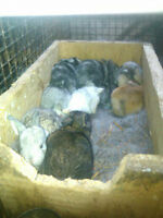 up coming meat rabbit bunnies ready in 2-3 weeks