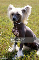 I'm looking for a Hairless Chinese Crested - Under 5 yrs