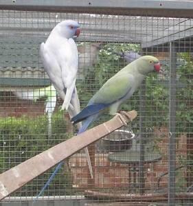 Indian Ringneck parrots Port Macquarie Port Macquarie City Preview