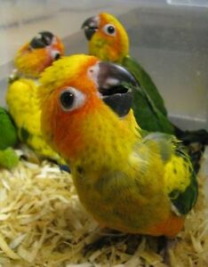 ❤♥☆♥SUN CONURE ♥ Babies with Cage and Food ♥☆♥❤