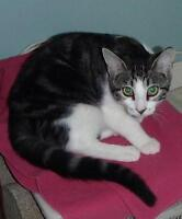 Female Cat - Domestic Short Hair - gray and white-Tabby - Brown