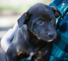Lab X Staffy Currambine Joondalup Area Preview