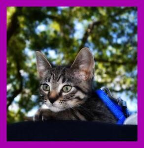 """Young Female Cat - Domestic Short Hair: """"Pinky Pie"""""""