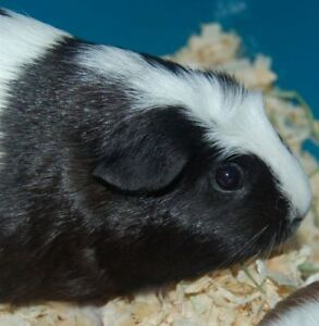"Adult Female Small & Furry - Guinea Pig: ""Brenda"""
