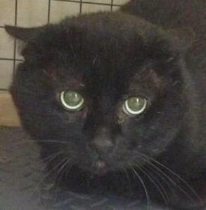 "Young Male Cat - Domestic Short Hair (Black): ""Tater"""